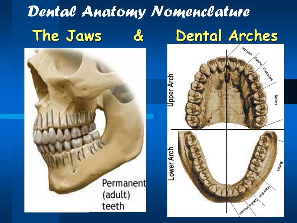 dental anatomy - Romeo.landinez.co