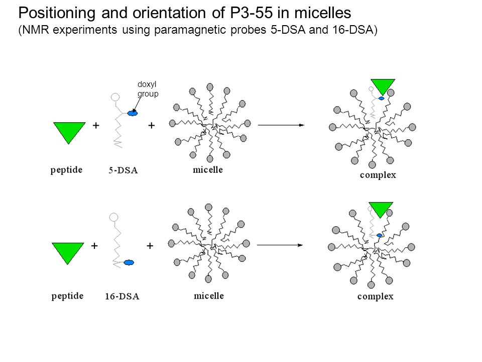 Positioning and orientation of P3-55 in micelles