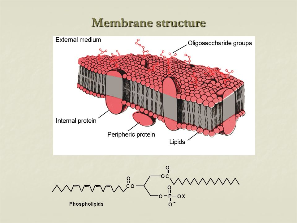 Membrane structure Phospholipids O P X C