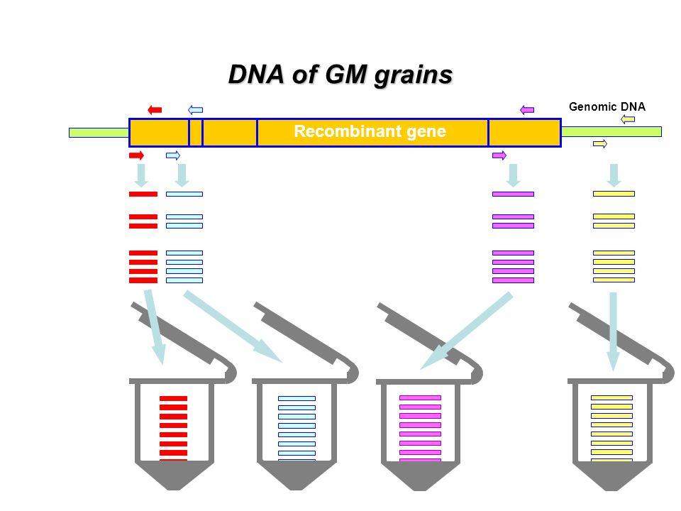 DNA of GM grains Recombinant gene Genomic DNA