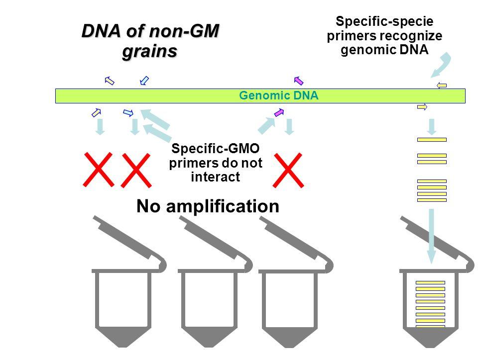 DNA of non-GM grains No amplification