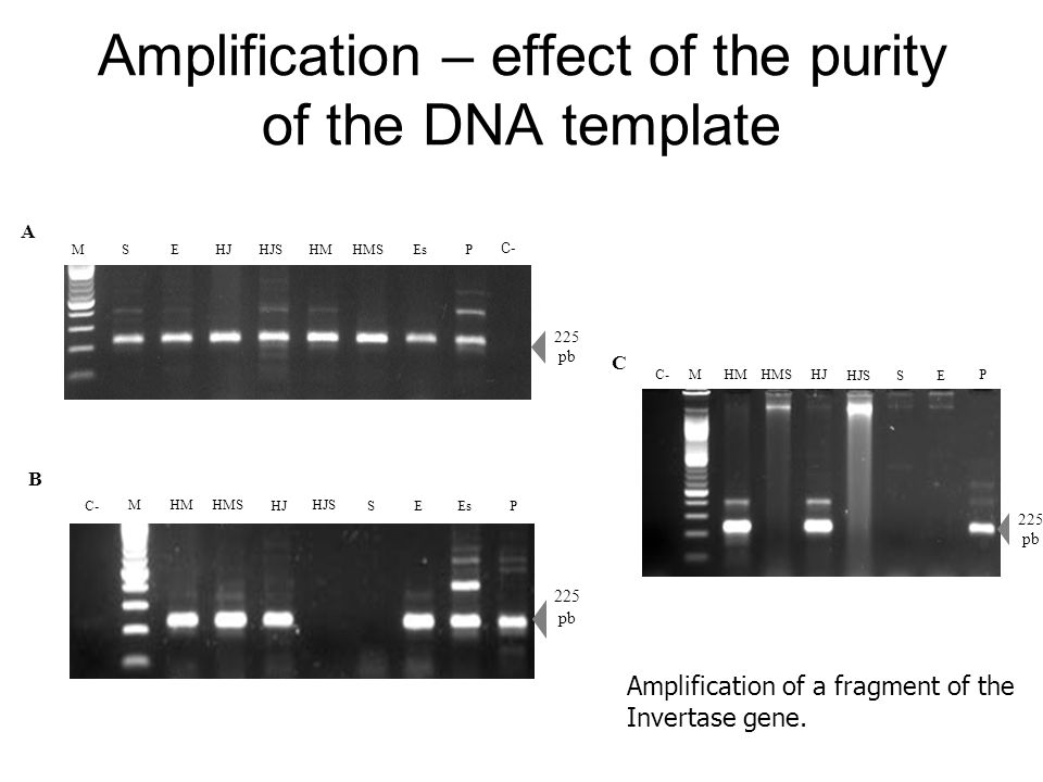 Amplification – effect of the purity of the DNA template