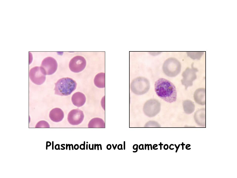 Medical Parasitology Ppt - 0425