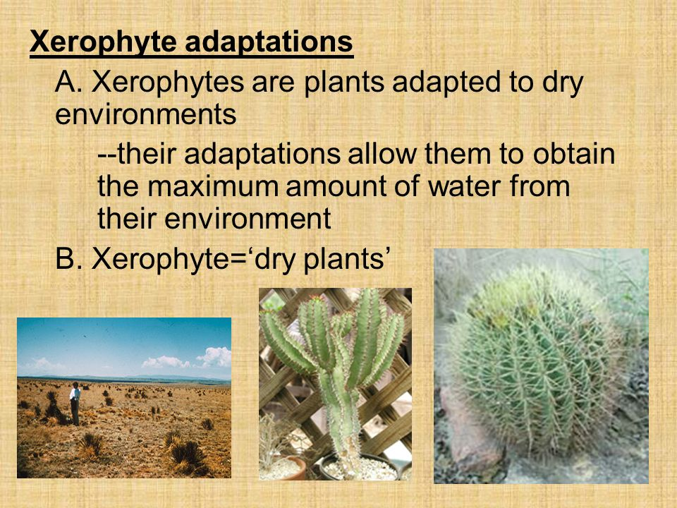 how xerophytes are adapted for water Adapted to meet the conditions of strongest transpiration and most precarious  water-supply are termed xerophytes: the remainder are termed mesophytes.