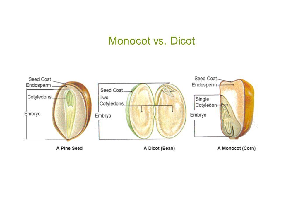 Monocot Vs Dicot Seed
