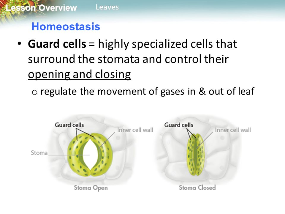 Homeostasis Guard cells = highly specialized cells that surround the stomata and control their opening and closing.