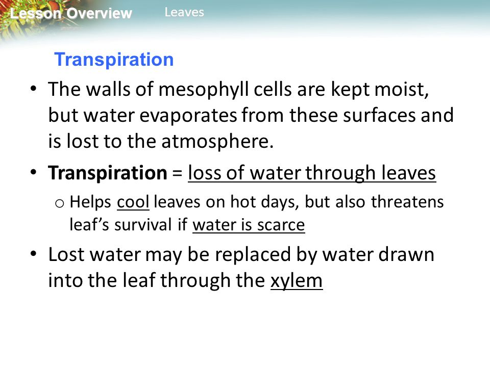 Transpiration = loss of water through leaves