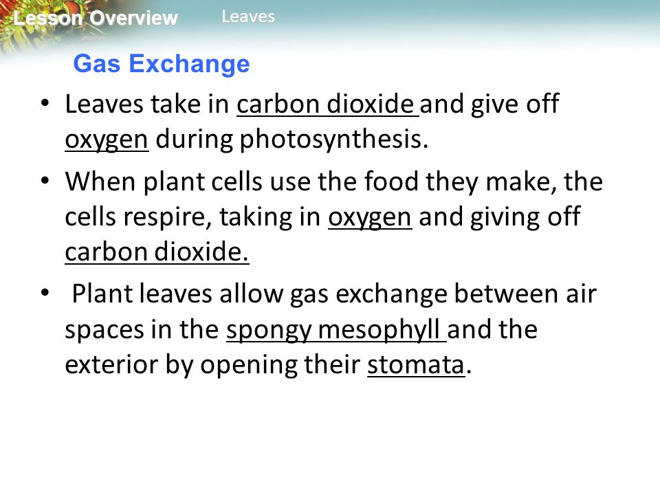 Gas Exchange Leaves take in carbon dioxide and give off oxygen during photosynthesis.