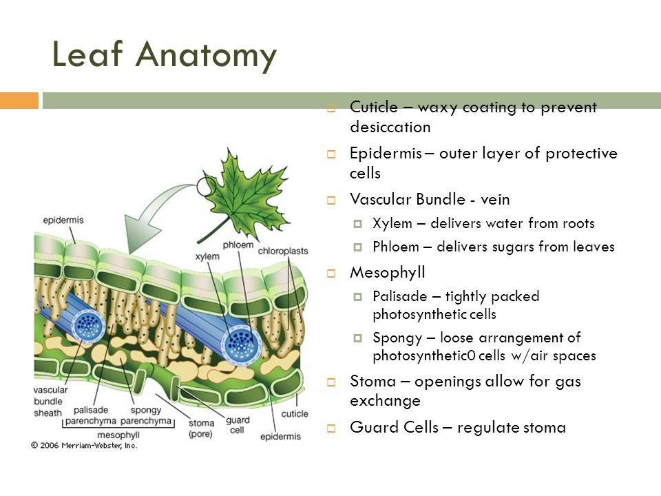 Exelent Anatomy Of The Leaf Photo Human Anatomy Images