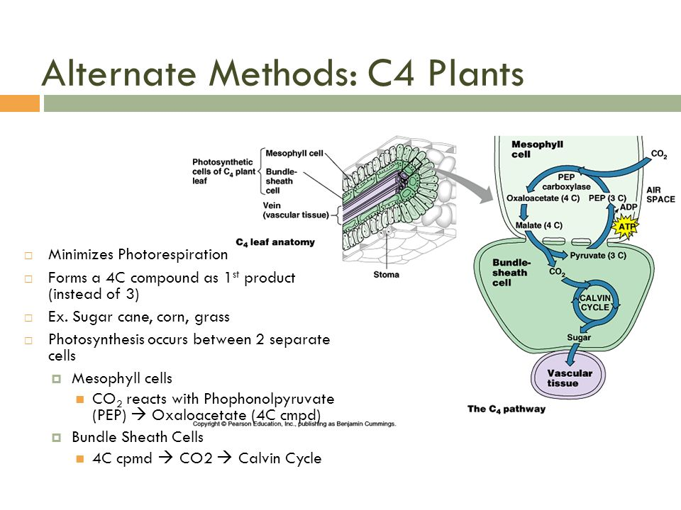 HBio: Photosynthesis. - ppt download