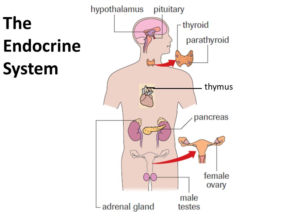The Endocrine System thymus