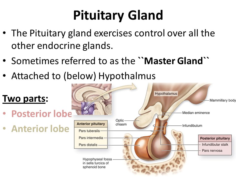 Pituitary Gland The Pituitary gland exercises control over all the other endocrine glands. Sometimes referred to as the ``Master Gland``