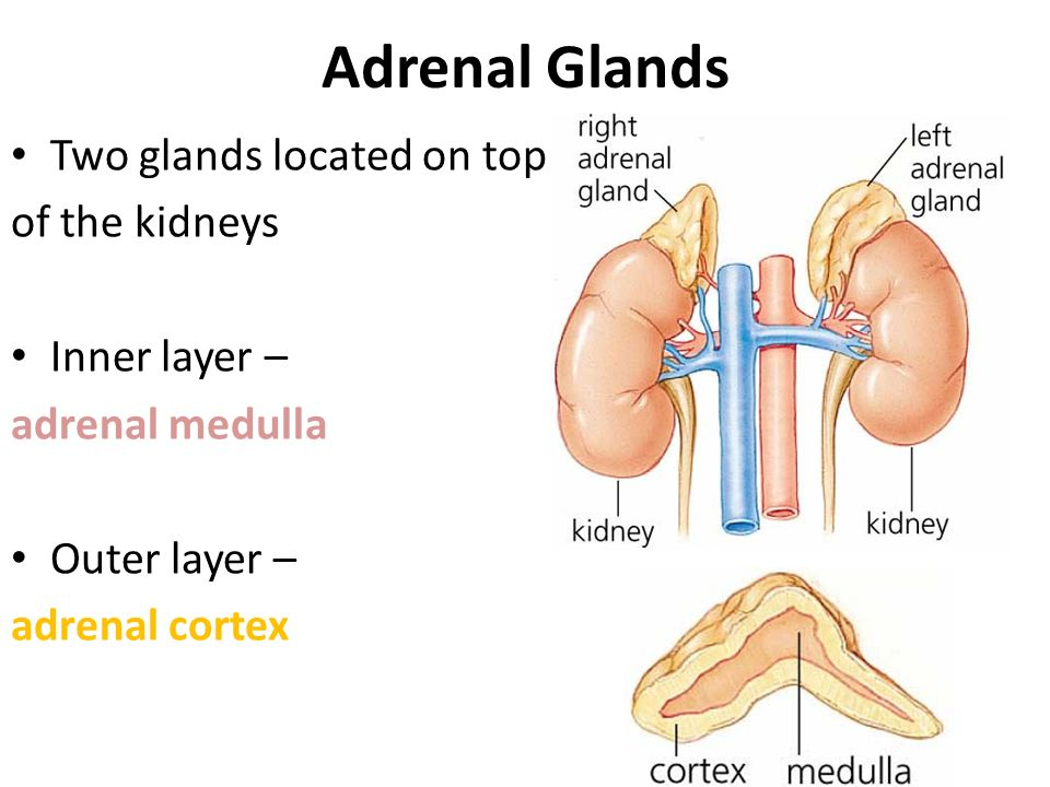 Adrenal Glands Two glands located on top of the kidneys Inner layer –