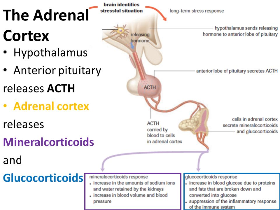 The Adrenal Cortex Hypothalamus Anterior pituitary releases ACTH