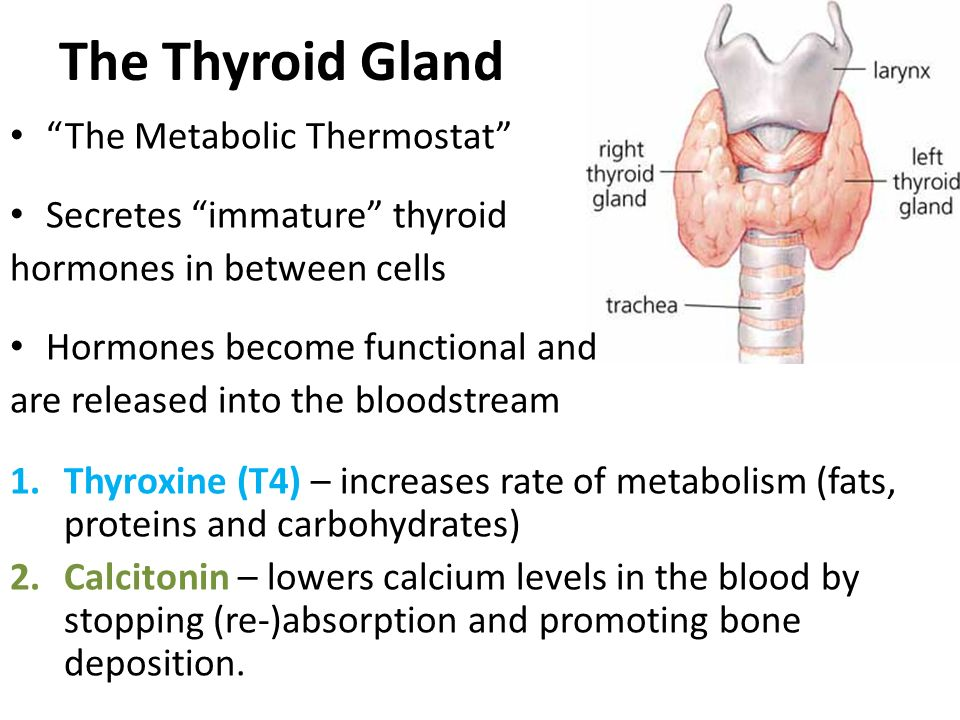 The Thyroid Gland The Metabolic Thermostat