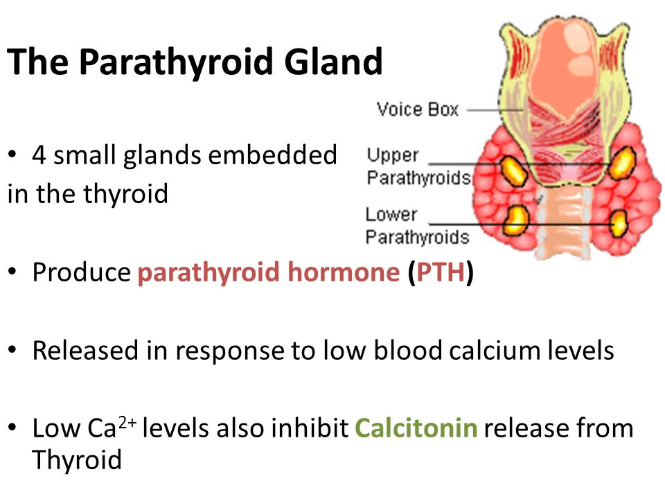 The Parathyroid Gland 4 small glands embedded in the thyroid