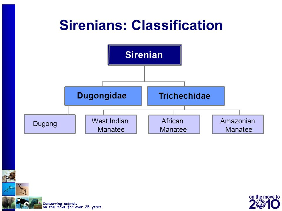 Sirenians: Classification