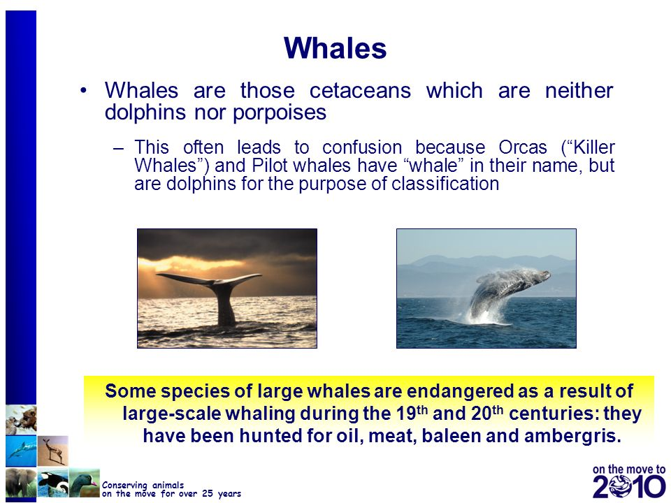 Whales Whales are those cetaceans which are neither dolphins nor porpoises.