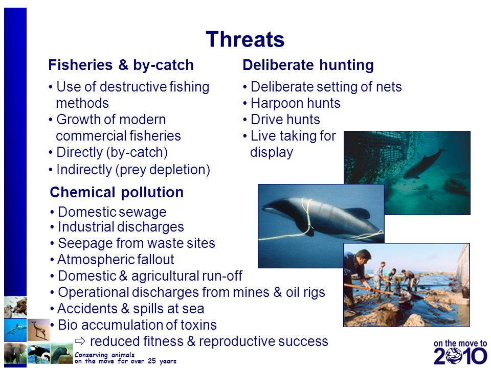 Threats Fisheries & by-catch Deliberate hunting Chemical pollution