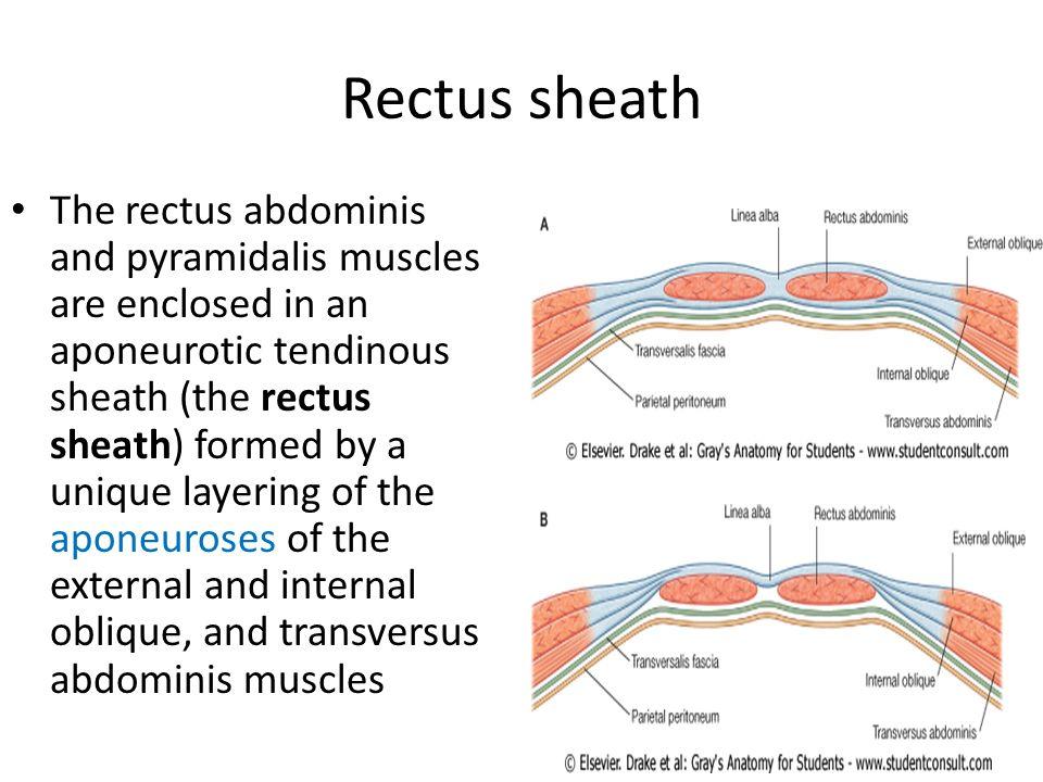 Rectus sheath anatomy 9686535 - follow4more.info