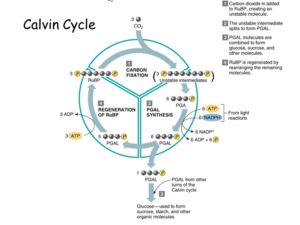 calvin cycle Calvin cycle overview of the calvin cycle and carbon fixation the calvin cycle or calvin–benson cycle or reductive pentose phosphate cycle is a series of biochemical reactions that take place in the stroma of.