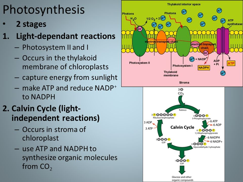 two stages of photosynthesis What are two stages of photosynthesis and how do the advantage that comes from this two-stage process is that the active pumping of carbon into the bundle sheath cell and the blocking of oxygen produce an environment with 10-120x as much co2 available to the calvin cycle and the.