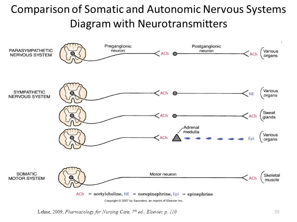 Autonomic nervous system ppt download comparison of somatic and autonomic nervous systems diagram with neurotransmitters ccuart Images