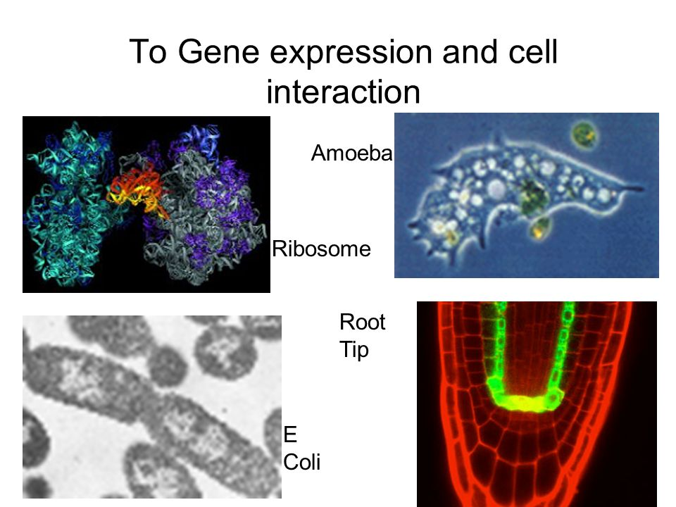 To Gene expression and cell interaction
