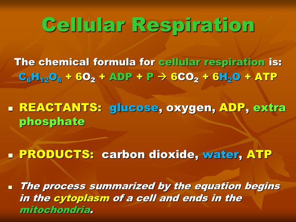 Cellular Respiration REACTANTS: glucose, oxygen, ADP, extra phosphate