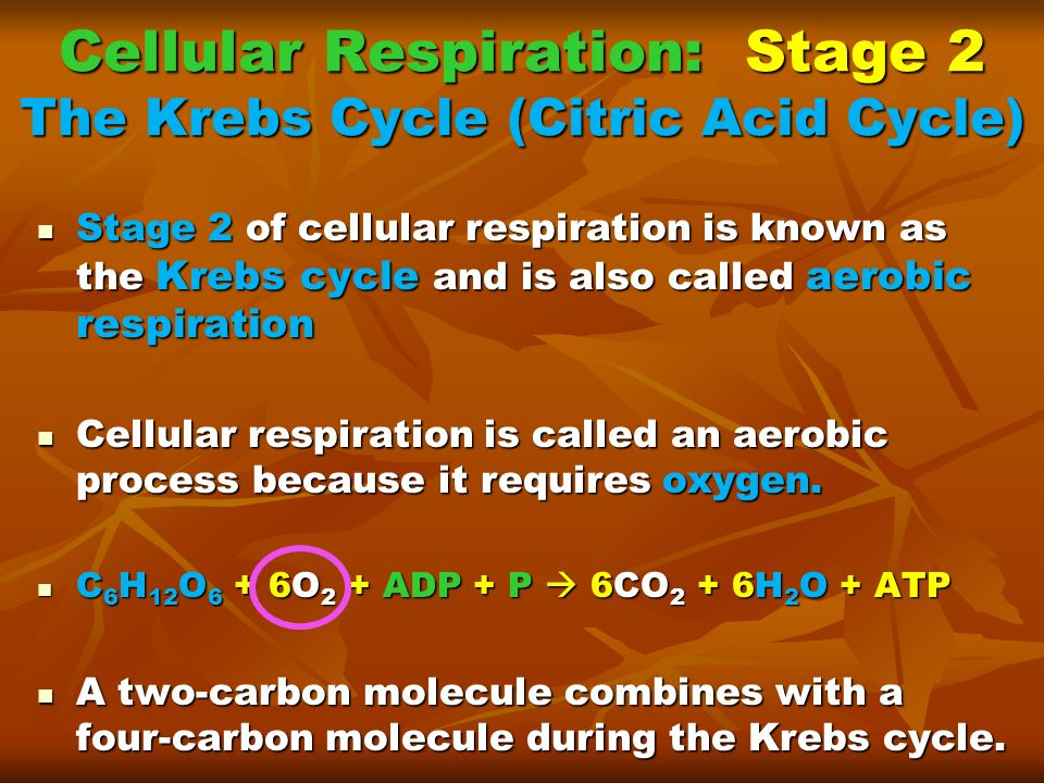 Cellular Respiration: Stage 2 The Krebs Cycle (Citric Acid Cycle)