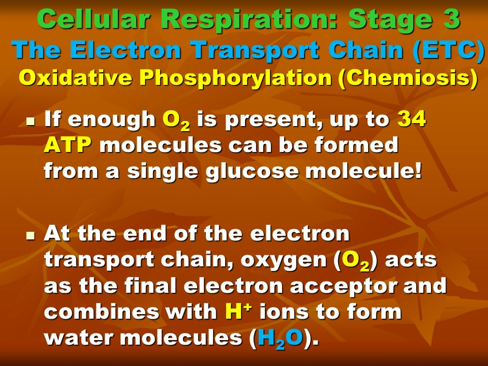 Cellular Respiration: Stage 3 The Electron Transport Chain (ETC) Oxidative Phosphorylation (Chemiosis)