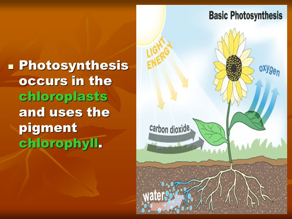 Photosynthesis occurs in the chloroplasts and uses the pigment chlorophyll.