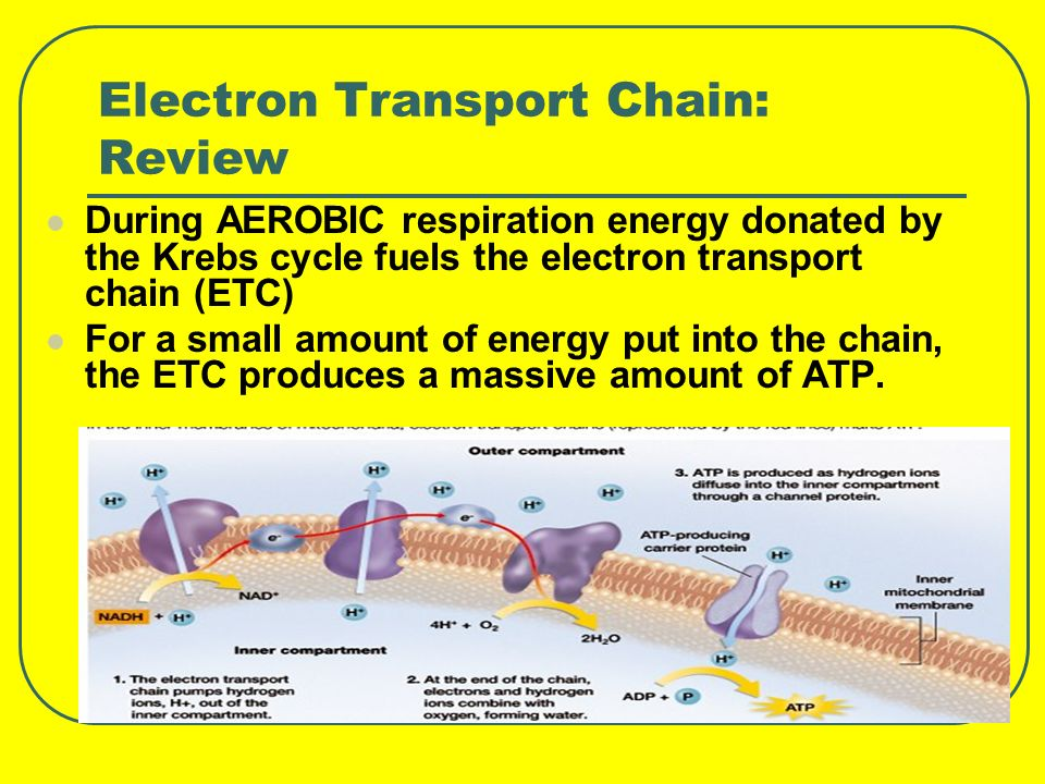 Electron Transport Chain: Review