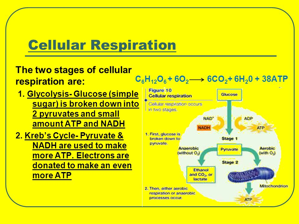 Cellular Respiration The two stages of cellular respiration are: