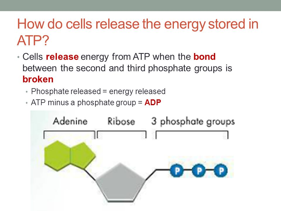 cell energy Respiration is one of the key ways a cell releases chemical energy to fuel cellular activity cellular respiration is considered an exothermic redox reaction which.