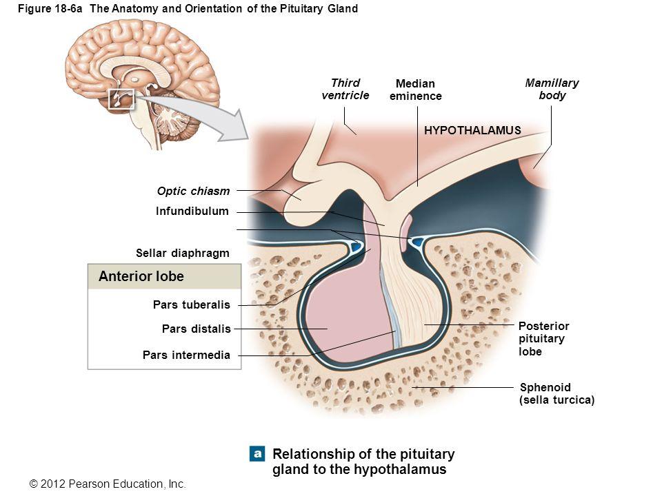 18 The Endocrine System. - ppt download