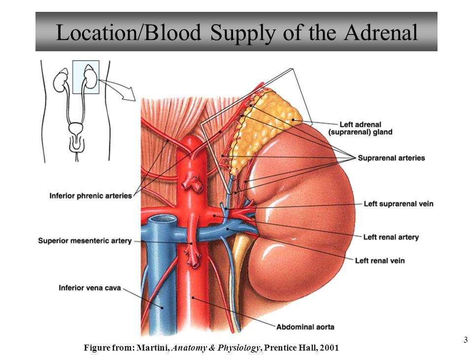 Wunderbar Endokrine System Anatomie Und Physiologie Ppt Ideen ...