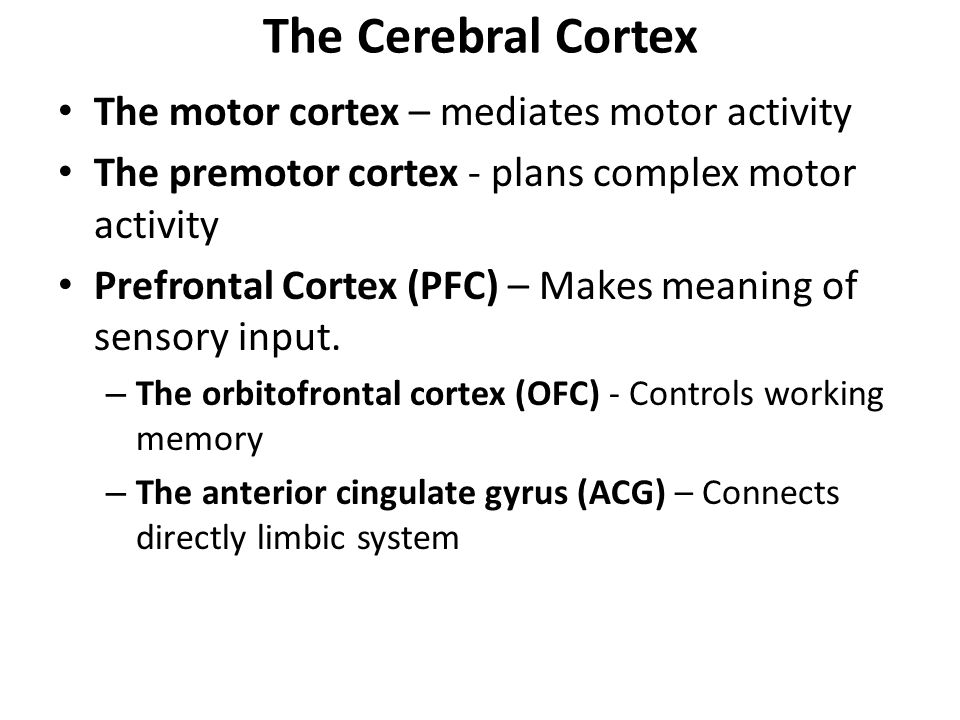 The Cerebral Cortex The motor cortex – mediates motor activity