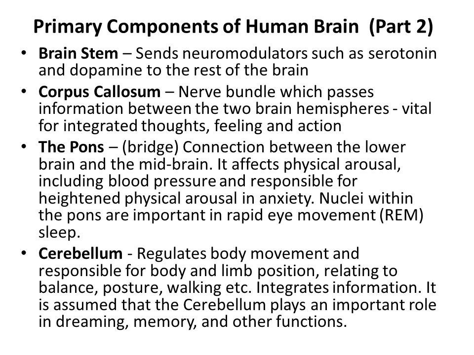 Primary Components of Human Brain (Part 2)