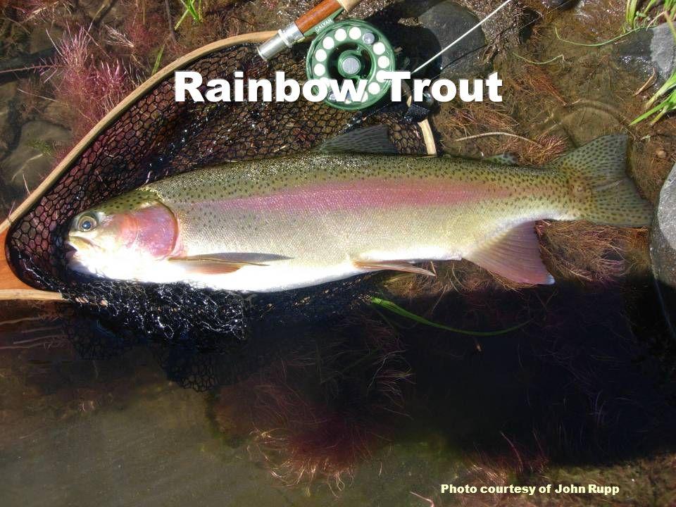 Rainbow Trout Photo courtesy of John Rupp