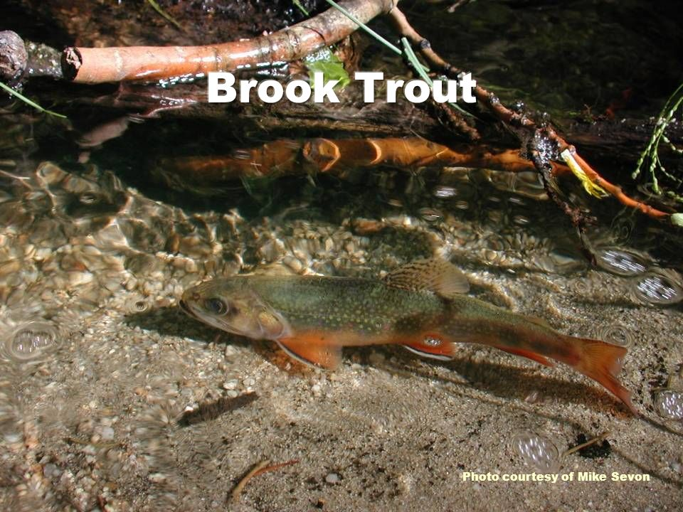 Brook Trout Photo courtesy of Mike Sevon