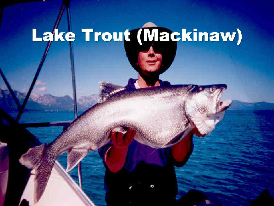 Lake Trout (Mackinaw)