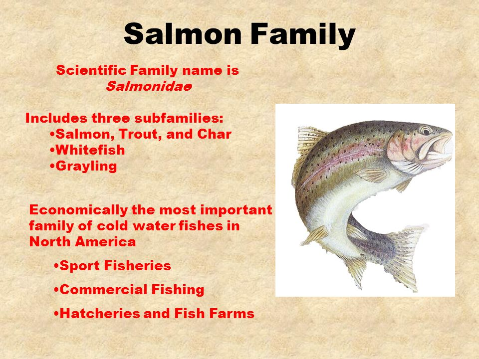 Scientific Family name is Salmonidae