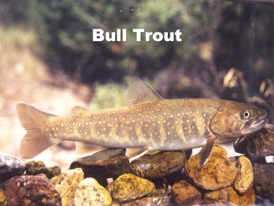 Bull Trout