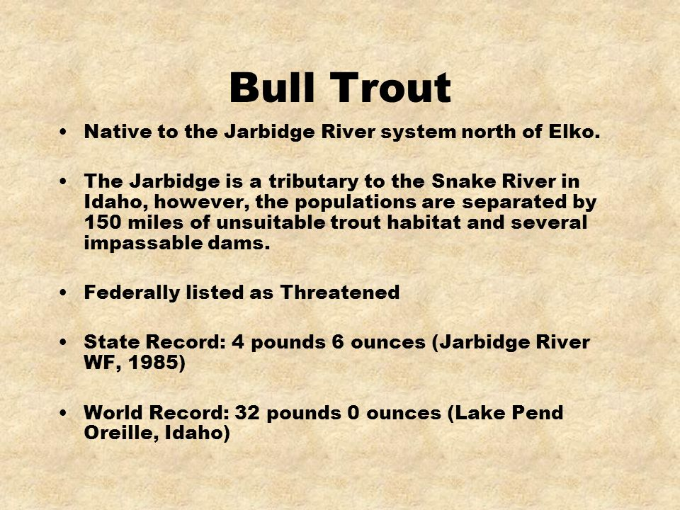 Bull Trout Native to the Jarbidge River system north of Elko.