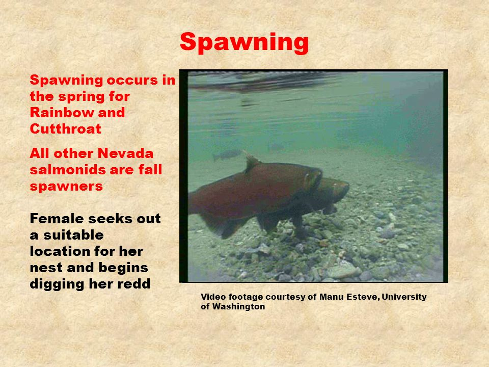 Spawning Spawning occurs in the spring for Rainbow and Cutthroat