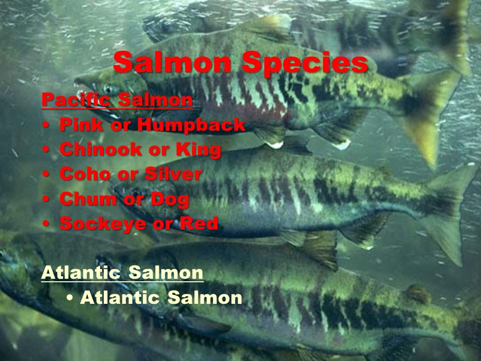 Salmon Species Pacific Salmon Pink or Humpback Chinook or King