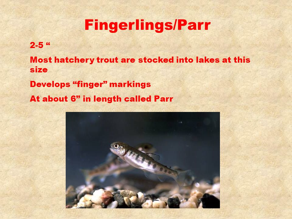 Fingerlings/Parr 2-5 Most hatchery trout are stocked into lakes at this size. Develops finger markings.