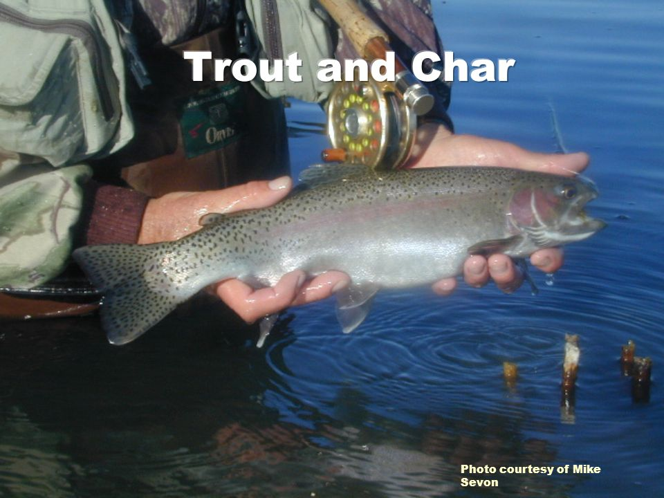 Trout and Char Photo courtesy of Mike Sevon