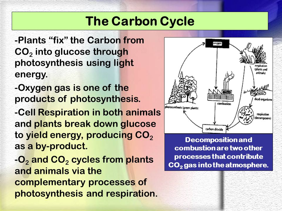The Carbon Cycle -Plants fix the Carbon from CO2 into glucose through photosynthesis using light energy.